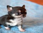 茶杯犬 墨西哥吉娃娃 苹果头 带证书 免费送货上门