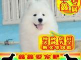 萨摩耶幼犬 最好品质 签订协议 来场可看狗父母