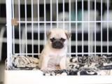 大连纯种八哥怎么卖的 大连哪里有巴哥出售 巴哥犬价格