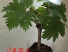 葡萄苗——盆栽(巨玫瑰)葡萄品种出售