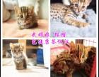 国际猫舍 直销布偶猫 蓝猫 美短 银渐层