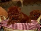 犬业直销 韩系小体泰迪 价格合理 健康纯度保障