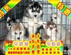 纯种哈士奇幼犬 专业繁殖 包纯种签合同保健康 1 3个月/