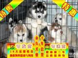 纯种哈士奇幼犬 专业繁殖 包纯种签合同保健康 1 3个月