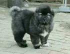 北京高品质高加索犬多少钱,幼犬的价格多少