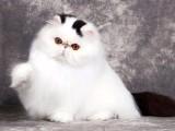 廣州哪里有波斯貓賣 純種 無病無廯 協議質保