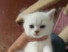 贵阳老牌猫舍 英短蓝猫加菲渐层 价格面议 欢迎上门
