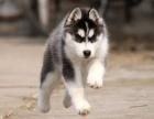 自家大狗生的一窝哈士奇可以来家里看大狗品相