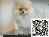 m哈多利球体博美俊介犬,带健康证书 签协议包纯种