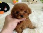 南京狗狗之家长期出售高品质 泰迪 宠物狗品种齐全 售后无忧