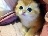 美短 英短 大包子 虎斑条纹 正规猫舍 售后有保障