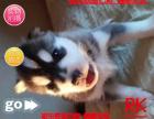 犬舍直销精品推荐直销包纯种保健顶级繁殖基地出售纯种哈士幼犬