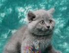 蓝猫英短英国短毛猫 包子脸大脸猫 可上门正规猫舍