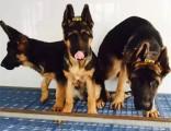 上海 纯种德国牧羊犬 疫苗齐全出售中 可签协议健康保障