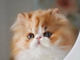 出售波斯猫幼猫长毛猫纯种家养银渐层绿眼宠物猫活体猫