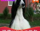 本地出售纯种阿富汗幼犬,十年信誉有保障