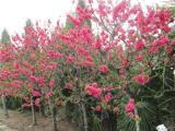 红叶碧桃上哪家买比较好_内蒙红叶碧桃种植基地