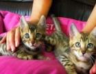 孟加拉豹猫出售