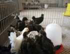 哪里有观赏鸡精品黑银多少钱一对