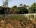 大量桂花树常年出售