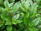 一次栽种,十年收益 效果神奇的 补血菜种苗