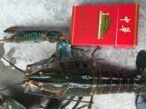 进口澳洲淡水龙虾.成品虾