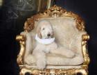 哪里有阿富汗猎犬,阿富汗猎犬多少钱,阿富汗猎犬图片