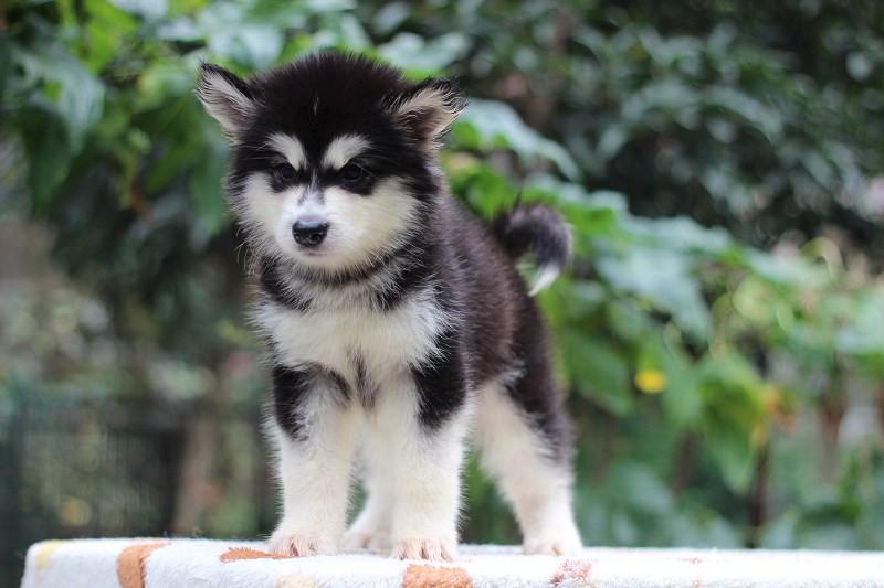 北京哪里有卖 哈士奇罗威纳柯基博美比格犬等多品种
