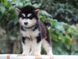 北京哪里有賣 哈士奇羅威納柯基博美比格犬等多品種