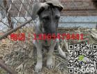 2-3月的纯种罗威纳多少钱,罗威纳幼犬多少钱