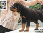 哪里有卖罗威纳专业繁殖区 幼犬待售中 三个月质保