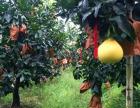 福建泉州市琯溪蜜柚,柚正黄正大量批量黄金柚,招商代理详情咨询