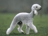 纯种贝灵顿梗贝林顿梗幼犬出售同城免费送货上门全国直发