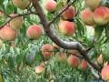 占地桃树 桃树价格