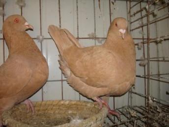 元寶鴿 大鼻子鴿 鳳尾鴿 點子鴿支持貨到付款