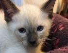 家养暹罗猫满月了找新家