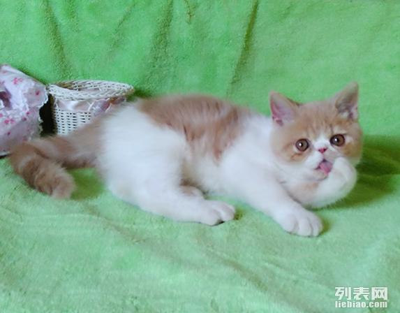加菲布偶英短猫