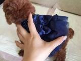 杭州里有卖泰迪的 泰迪钱一只