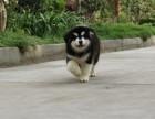 重庆超大骨架巨型阿拉斯加雪橇犬出售,健康血统签协议