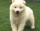 出售精品萨摩耶幼犬/雪橇犬/毛色靓骨量大/包纯种健康