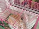 出售2只家养宠物兔加兔笼,健康活泼,要的联系