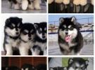 长沙犬舍出售各类狗狗