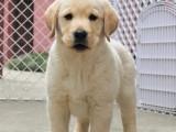 成都出售纯种拉布拉多犬 自家养殖的 当面测试 同城免费送狗