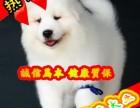 纯种萨摩耶犬四窝挑选 实物拍摄 纯种健康签协议