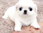 假期京巴幼犬纯种超低价售 可爱健康 疫苗作齐全