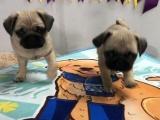 郑州出售 纯种巴哥幼犬 狗狗出售 可签协议健康保障