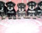 纯种雪纳瑞宠物狗健康质量保障疫苗齐全包售后