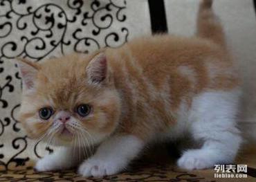 加菲猫幼崽出售啦品相漂亮性格非常黏人高贵漂亮加菲猫