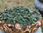 有机金线莲盆栽
