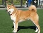 出售纯种秋田犬 秋田幼犬 质量好 健康保证